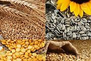 Куплю кукуруза, соя, пшеница, подсолнечник Чернигов