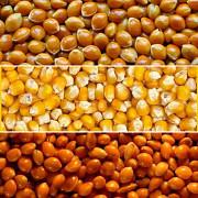 Куплю кукурузу, просо Дорого Полтава