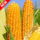 Насіння кукурудзи ТОР Новомосковск