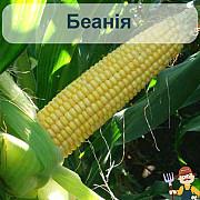 Насіння кукурудзи Беанія Чернигов