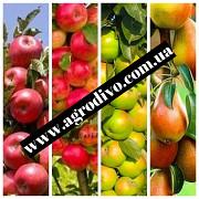 Продаем саженцы плодовых деревьев и кустарников высшего сорта. Розы Винница
