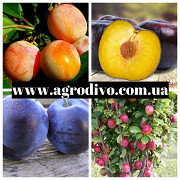 Саженцы плодовых яблонь, груш, слив, вишня, черешня, персик, абрикос. Житомир