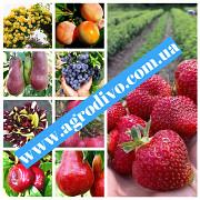 Кизил, фундук, малина, жимолость, крыжовник, а также плодовые деревья Запорожье