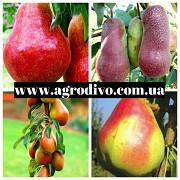 Яблони 50сортов, груши, сливы, персики, смородина, малина оптом и в розницу https://agrotorg.net Под Одесса