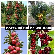Фундук, нектарин, яблони, груши, сливы, абрикосы, черешни на Agrodivo. com.ua https://agrotorg.net П Полтава