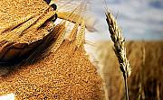 Закупка пшеницы, кукурузы, сои, подсолнечника. Самовывоз Чернигов