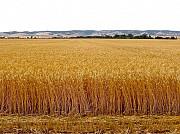 Закупівля пшениці, кукурудзи, сої, соняшнику. Самовивіз Сумы