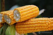 РУНІ насіння кукурудзи ФАО 320 Киев