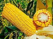 Семена гибрида кукурузы Хотин ФАО 280 Киев