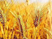 Пшеница, кукуруза, соя, подсолнечник. Закупка Днепр