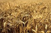 Пшениця, кукурудза, соя, соняшник. Закупівля. Черкассы