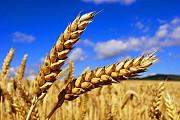 Куплю пшеницу Днепр