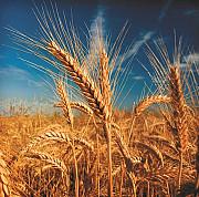 Закупаем пшеницу Днепр
