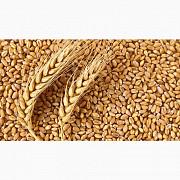 Пшеница фуражная 2-3 класс от 1 тонны с элеватора Умань
