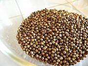 Семена кориандра Пуэбло. Посевной материал кориандр Pueblo Рівне