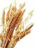 Закупаем зерновые. Пшеница, рожь. Сумы