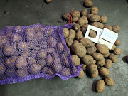 Картофель товарный. Картофель семенной. Житомир