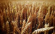 Зерноотходы зерновые, масличные, бобовые куплю Сумы