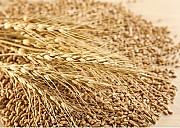 Зерноотходы зерновые, масличные, бобовые Сумы