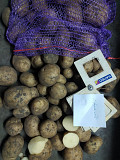 Картопля оптом. Насіннєва, товарна картопля Одесса