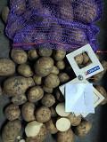 Товарный и семенной картофель оптом Харьков