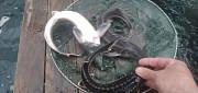 Осетр для зариблення водоймів Житомир