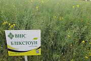 Семена озимого рапса Блекстоун (Семена озимого рапса под Евролайтинг ) Киев