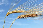 Куплю ячмень, пшеницу, горох, рапс Одесса