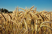 Куплю ячмінь, пшеницю, горох, рапс Херсон