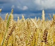 Ячмінь, пшениця, горох, ріпак дорого Запорожье