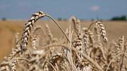 Насіння озимої пшениці Ліра Одеська (реалізуємо від 1т.) Киев