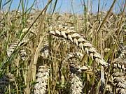 Насіння озимої пшениці сорт Богдана , Еліта (Реалізуємо від 1т) Киев