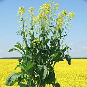 Куплю ячмінь, ріпак, горох, пшениця з місця Мелитополь