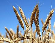 Куплю дорого пшеницу, ячмень, рапс, горох Одесса