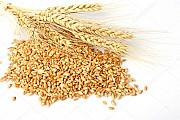 Куплю дорого пшеницю, ячмінь, ріпак, горох Херсон