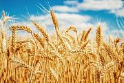 Куплю некондицию, зерноотходы. Масличные, бобовые, зерновые. Черкассы