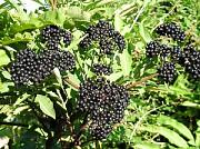 Постійно закуповуємо бузину та інші лікарські рослини Лубны