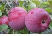 Продам яблоко Виста Белла Харьков