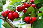 Продам плоды боярышника Харьков