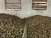 Голландская картошка на посадку Житомир