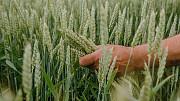 Насіння озимої пшениці Хмельницький