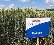 Насіння пшениці дворучки Хмельницький