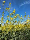 Закуповуємо зерновідходи ріпаку, зерновідходи соняшнику Дніпро