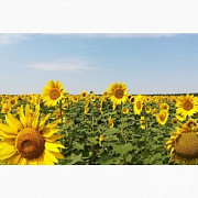 Зерновідходами соняшнику, відхід ріпаку куплю з самовивозом Черкассы